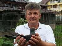 SIGHET - Porumbel aparținând părintelui Mariș Ilie s-a întors de la Barcelona în concursul International 2016