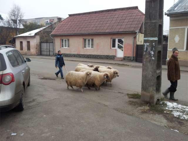 FOTO - Transhumanța s-a mutat prin cartierele din Sighet