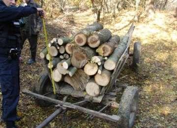 Sigheteni cercetaţi pentru tăiere ilegală şi furt de arbori