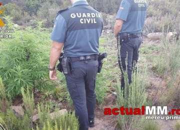 SPANIA - 5 români reținuți după ce poliția le-a găsit plantația de marijuana