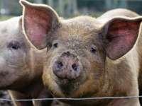 Stare de alertă în Maramureș din cauza pestei porcine