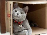 STUDIU: Cutia de carton, refugiu anti-stres pentru pisici
