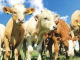 Târgurile din Maramureş vor fi închise din cauza bolii limbii albastre. Aflaţi până când