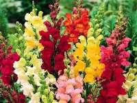 Terapia cu flori – Gura leului