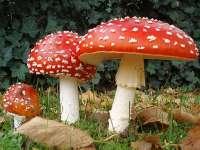 Tot mai multe victime ale consumului de ciuperci otrăvitoare