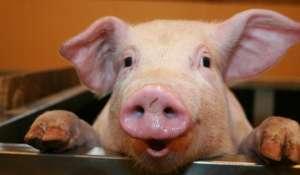 Tradiţii şi obiceiuri de Ignat: Cine nu are porc trebuie să taie măcar o găină