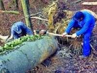 Trei maramureșeni sunt cercetați de polițiști pentru tăiere ilegală de arbori