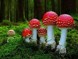 Trei persoane au ajuns în coma dupa ce au consumat ciuperci otrăvitoare