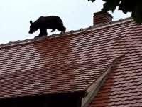 Uciderea puiului de urs în Sibiu, care putea fi tranchilizat, trebuie pedepsită penal