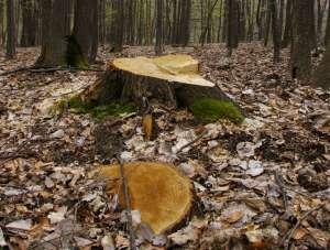 Un bărbat din Berbeşti a reclamat că i-au fost tăiaţi 19 arbori de pe un teren proprietate personală