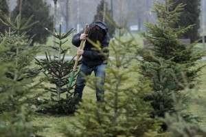 Un bărbat din Bozânta Mică a căzut dintr-un brad în timp ce încerca să-l taie ilegal