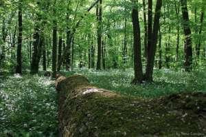 Un bărbat din Crasna Vişeului a decedat după ce un copac s-a prăbuşit peste el