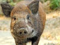 Un porc mistreț a băut 18 beri: Află ce a facut animalul turmentat