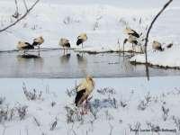 UTIL - SFATURI DE LA BIOLOGI: Cum salvezi o barză din zăpadă