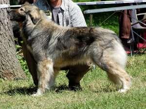 VADU IZEI: O femeie a fost atacată de un câine ciobănesc caucazian