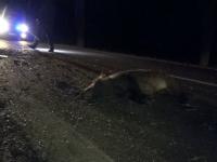 VIDEO - Accident ciudat pe o șosea din România. 33 de porci mistreți au murit