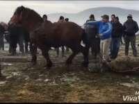 VIDEO - Caii vânduți în Târgul de animale din Sighetu Marmației sunt supuși unor teste de forță, fiind bătuți și maltratați