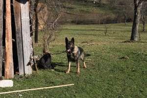 VIDEO - Contrabandist de țigări depistat cu ajutorul câinelui de urmă din cadrul Poliției de frontieră