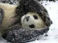 VIDEO: Cum reacţionează un pui de urs panda când vede pentru prima dată zăpadă