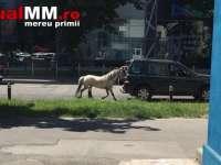 VIDEO: NESIMȚIRE - Și-a plimbat poneiul legat de un vehicul prin Baia Mare