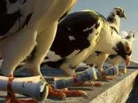 VIDEO - Nu doar în Maramureș se face contrabandă: Un american şi-a învăţat porumbeii să facă contrabandă cu trabucuri din Cuba