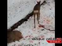 VIDEO - PROBLEMELE CONTINUĂ LA IADĂRA: Căpriori sfâşiaţi de câinii nelegaţi ai unor localnici