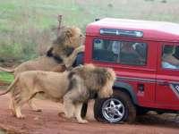 VIDEO - Safari cu emoții: O leoaică deschide ușa mașinii