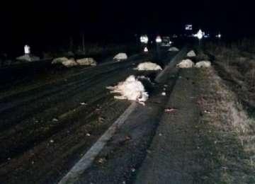 VIȘEU DE SUS - 18 oi moarte după ce un tânăr beat a izbit cu mașina în plin o turmă de oi