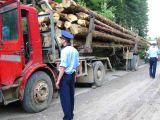 VIȘEU DE SUS - 33mc lemn fără documente legale, confiscat de polițiști