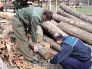 VIȘEU DE SUS: Material lemnos confiscat şi dosar penal întocmit pentru tăiere ilegală de arbori
