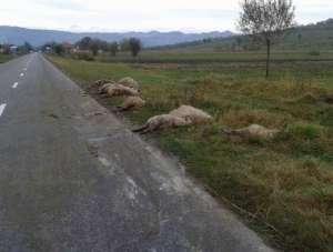 Vişeu de Sus: Turmă de oi, spulberată cu maşina de un bărbat din Bacău