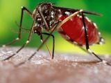 ZIKA - Femelele de țânțari pot transmite infecția descendenților