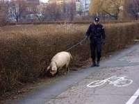 Porcii detectori