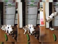 VIDEO - Pisicile se sperie de... castraveți!
