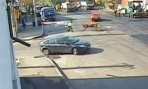 VIDEO - Polițist rutier, atacat de un taur în mijlocul intersecției